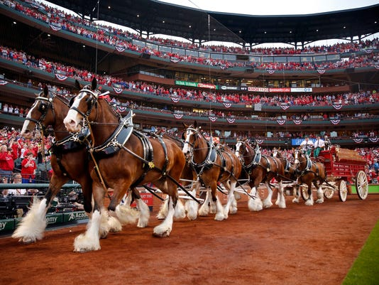 Budweiser Clydesdale make their way around the Busch Stadium field as part of Opening Night festivities before a baseball game between the St. Louis Cardinals and the Chicago Cubs, Sunday, April 2, 2017, in St. Louis. (AP Photo/Jeff Roberson)