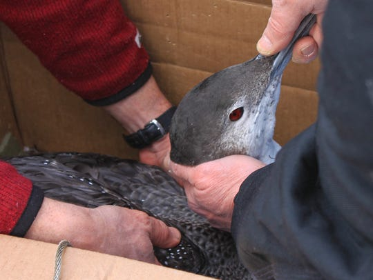 Volunteers place a rescued loon into a box after pulling