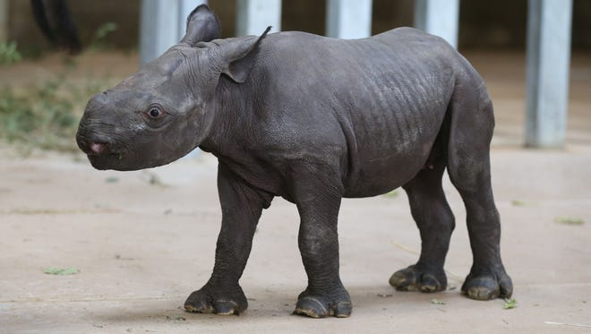 An unnamed endangered black baby rhino was born to Blank Park ZooÕs mom Ayana and dad Kiano, the south side parkÕs rare eastern black rhinos, at about 11:23 a.m. Oct. 11 on the zooÕs grounds. The female, 80-pound calf is likely the first endangered rhino born in the state of Iowa, according to the zoo, shown here Monday Oct. 17, 2016, at the zoo's rhino enclosure.ÒThis is an extremely significant event Ñ not only in Blank Park ZooÕs 50 year history, but also for this critically endangered animal species,Ó said Mark Vukovich, the zooÕs CEO.