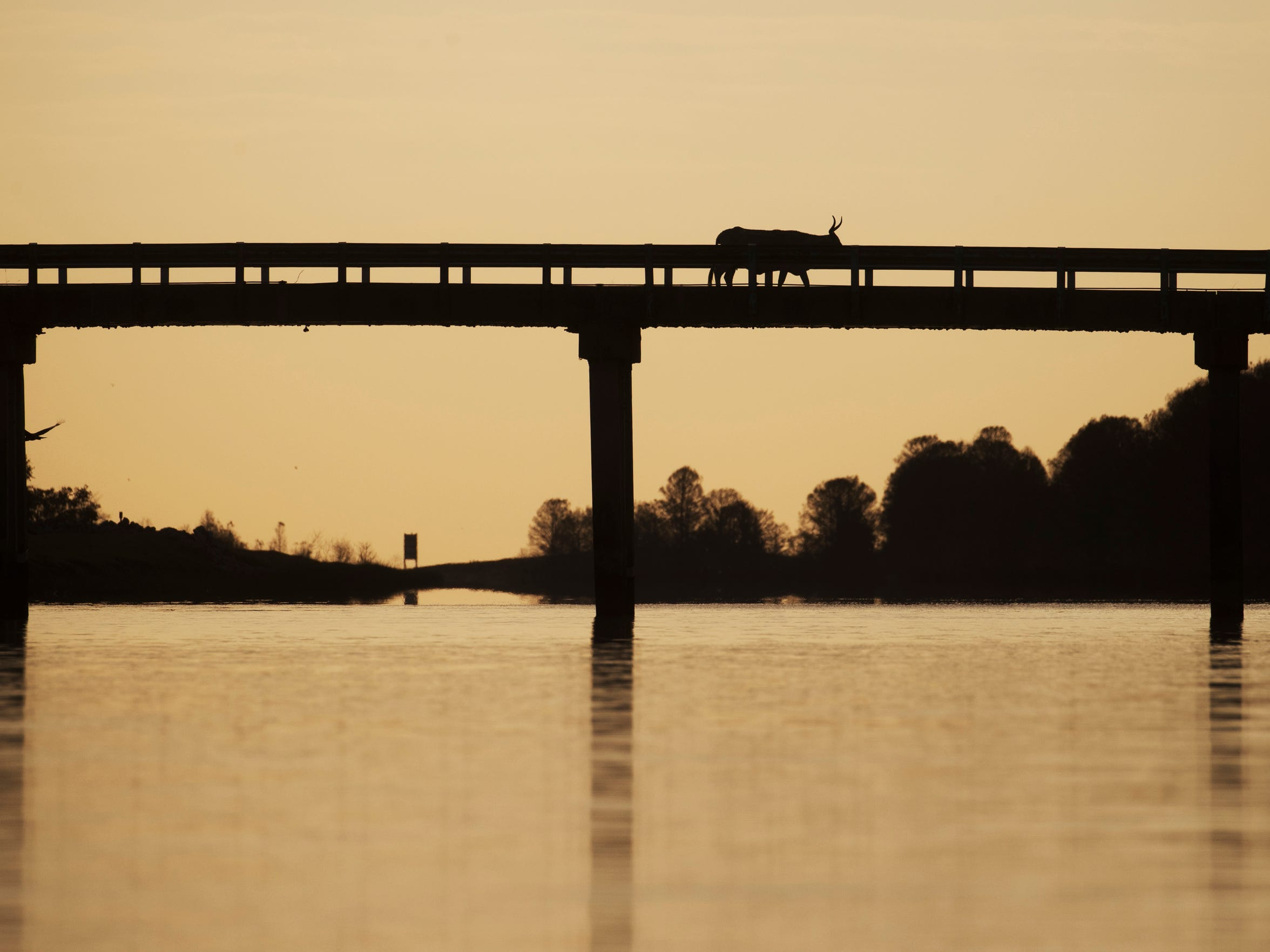 A cow crosses a bridge near Camp Mack along the Kissimmee River in early February.