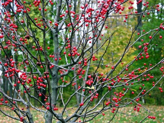 Winterberry Holly, Ilex verticillata, during fall