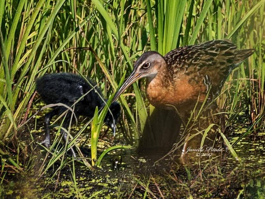 636507637668698230-King-rail-and-chick-photo-by-Janelle-Pitula.jpg