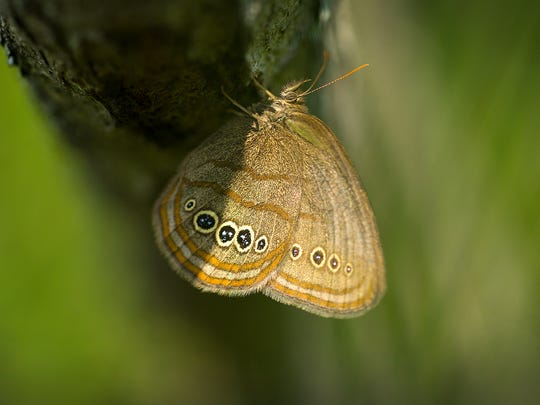 This picture of a Mitchell's Satyr butterfly was taken in the Liberty Fen in Jackson County.