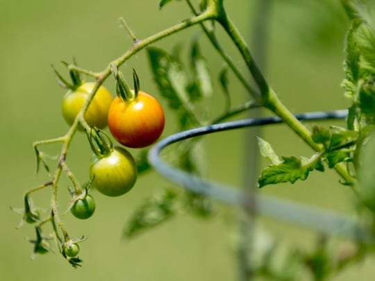 """Tomatoes grow in Jeffry Turnmire's two acre backyard garden in West Knoxville, Tennessee on Thursday, July 19, 2018. Turnmire is the first in Knoxville to successfully zone with lot with the city as a """"market garden,"""" hoping to eventually sell his produce to local restaurants."""