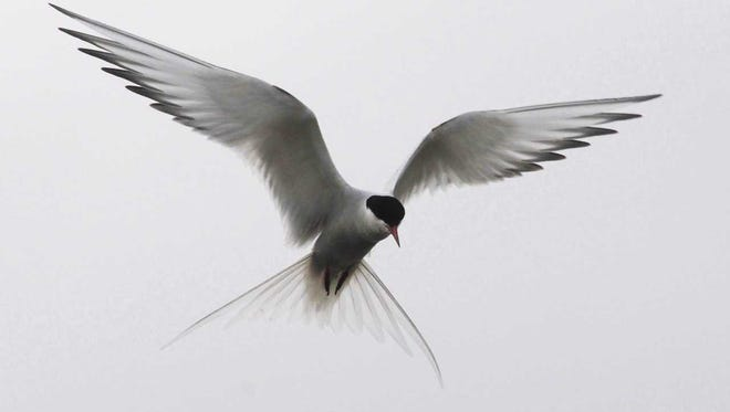 Arctic Terns migrate farther than any other bird, from the Arctic to the Antarctic and back each year, a round trip of about 48,000 miles, allowing them to enjoy sunlight for more hours per year than any other living creature.