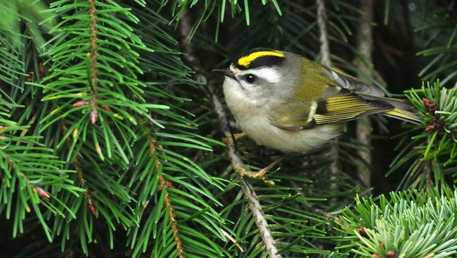 Golden-crowned kinglets spend much of their time foraging for caterpillars high up in evergreens. To find them, listen for their high, thin call notes, and then look for their near-constant movement.