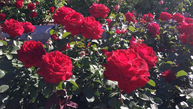 The El Paso Municipal Rose Garden is in full bloom and will have an open house Saturday.