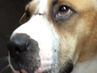 Dog stabbed in head recovering