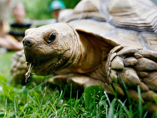 Phylis, a sulcata tortoise, grazes on some grass during