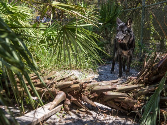Raven, a wolfdog at the Shy Wolf Sanctuary, has fallen