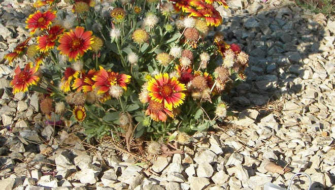 According to the Demonstration Garden Guide, the brightly colored Arizona sun blanket, seen here, requires full sun, blooms in mid-summer to fall, and is susceptible to mildews, rust, white smut, leaf spots, slugs and snails.   ?