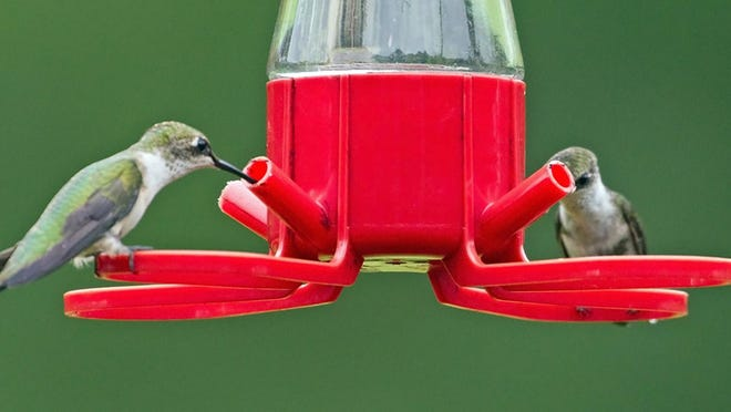 A pair of female ruby-throated hummingbirds actually share a feeder.