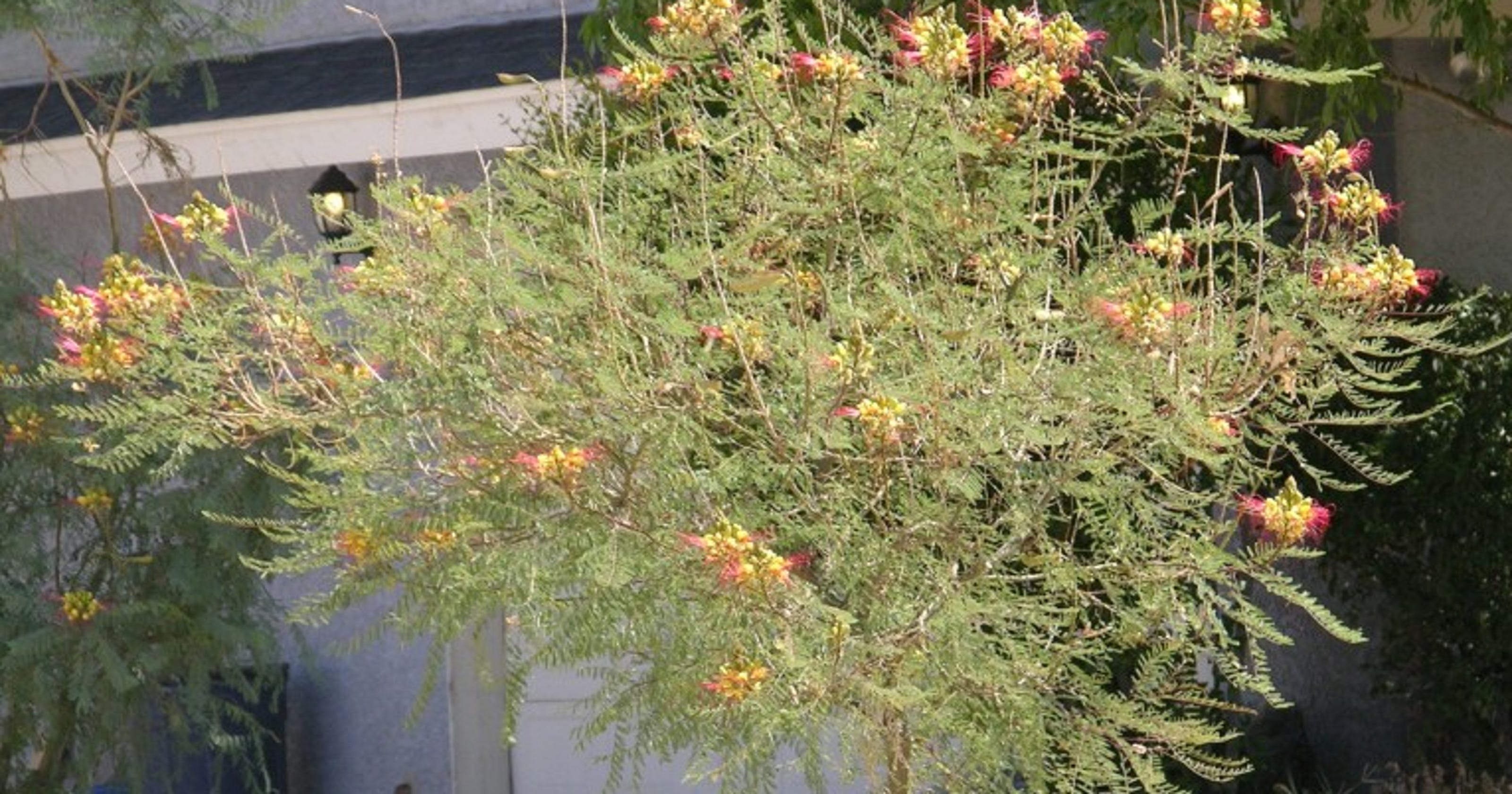 What Is The Proper Care For Mexican Bird Of Paradise