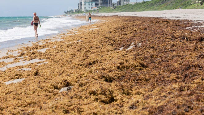 Sargassum piles up on the sands of Juno Beach due to the prevailing easterly winds, Monday, July 20, 2020. Sargassum has plagued Palm Beach County beaches for the past couple of years with ample amounts reaching the Gulf Stream.