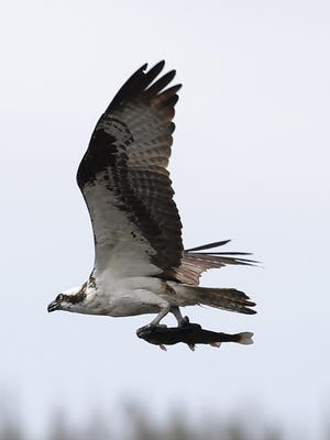 An osprey carries a fish after making a catch in Grand Lake in Grand Lake, Colo., on Wednesday.