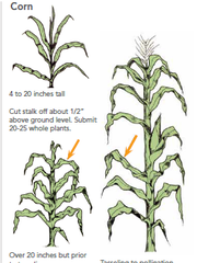 Sampling the correct plant part at the correct time is critical for maximizing your time spent plant tissue sampling.