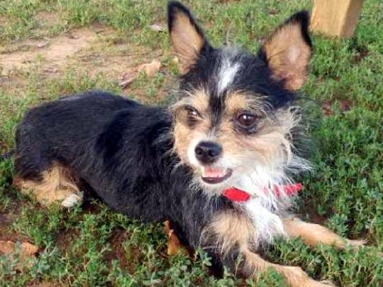 Sweetie Pie is a 4-year-old, 8-pound, female Yorkshire