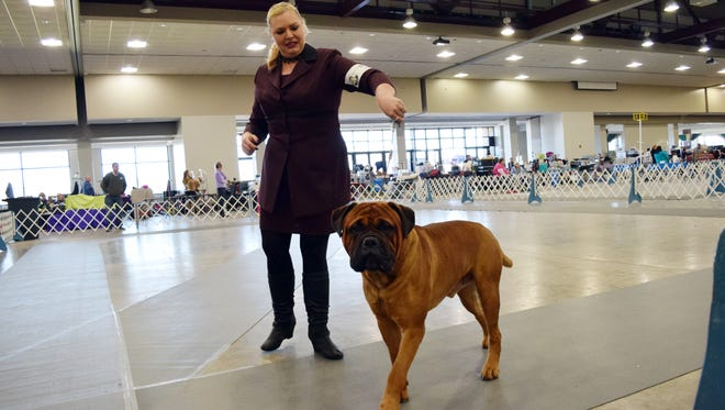 Michelle Baker shows a bullmastiff at the sixth annual Mardi Gras Cluster Dog Show, co-hosted by both the Alexandria Kennel Club and the Baton Rouge Kennel Club. The show began Thursday and will run through Sunday at the Alexandria Riverfront Center in downtown Alexandria.