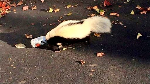 Less filling? Hardly. Tastes great? Probably not: A skunk tries to get a beer can off its head on Sept. 14 in Oxford, Ohio.
