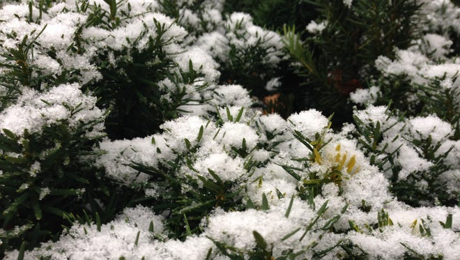 Snow coats an evergreen bush. Accumulations of 6 to 10 inches are possible.