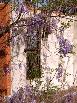While beautiful, wisteria can threaten valuable trees. To eliminate it, cut if off at the ground, drill into the trunk and pour a broad leaf weedkiller, full-strength, into the holes.