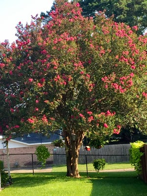 Letting a crape myrtle grow untopped for decades produces a beautiful sight.