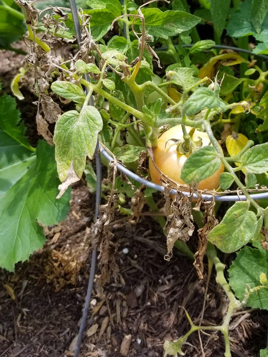 636639825784844478-6-04-18-Tomato-early-blight-spider-mites.jpg