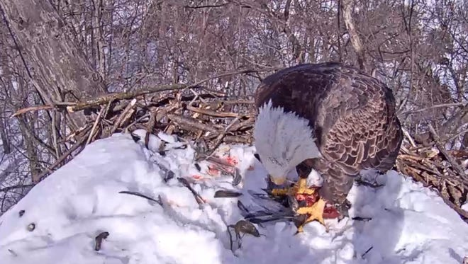 A Hanover eagle eats lunch at its Heidelberg Township nest on Jan. 25.