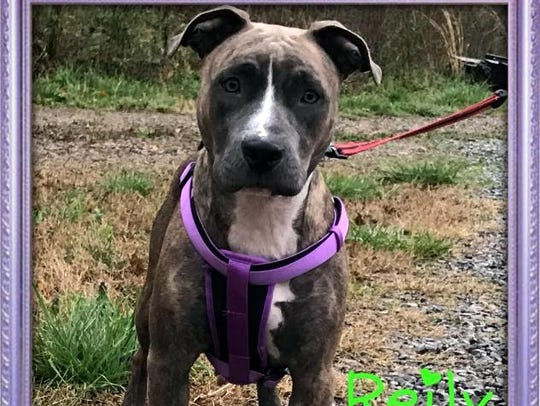 Reily is a beautiful adult, spayed, female boxer mix.