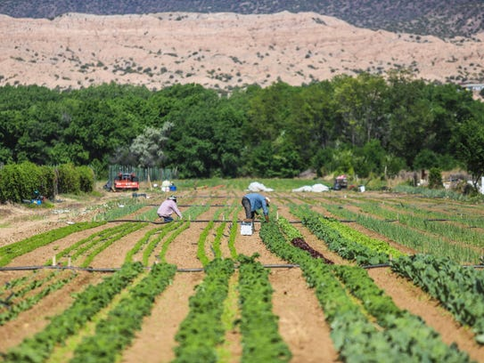 In this Wednesday May 23, 2018, photo, workers harvest