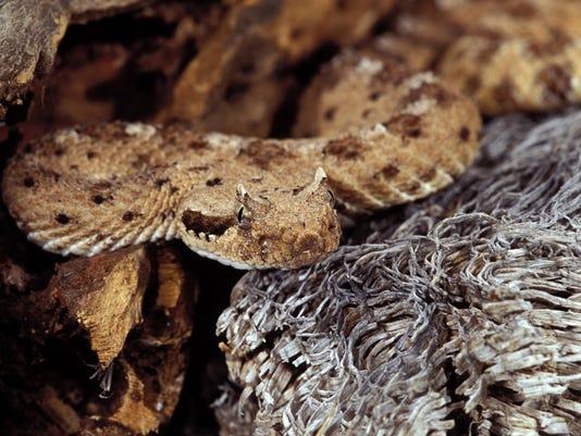 stock rattlesnake