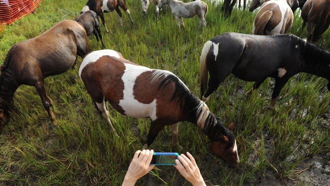Donna McStravick of Drexel Hill, Pa. takes a cell phone photograph of the Chincoteague Pony herd after it made the 90th annual Pony Swim across Assateague Channel on Wednesday, July 29, 2015.