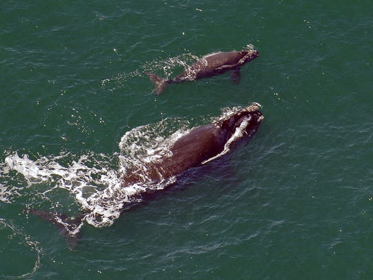 In this 2009 file photo, a female right whale swims at the surface of the water with her calf a few miles off the Georgia coast. The winter calving season for critically endangered right whales ended without a single newborn being spotted off the southeast coast.