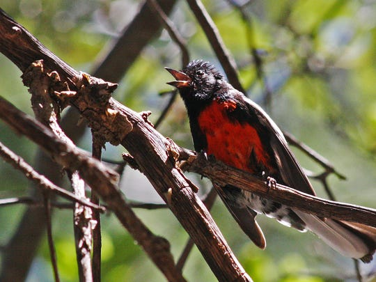 Over 170 species of birds have been seen in Ramsey Canyon, including the painted redstart.