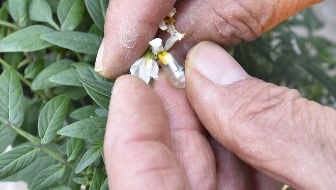 Charles Fernandez uses a half of a gel capsule to collect pollen from a male plant and dips the stigma of the female flower into the capsule to complete the pollination.
