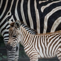 Egyptian zoo accused of painting a donkey to look like a zebra