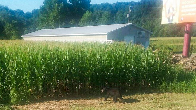 A Ross County man managed to snap a photo of a young black bear running into a cornfield just off U.S. 50 Wednesday morning.