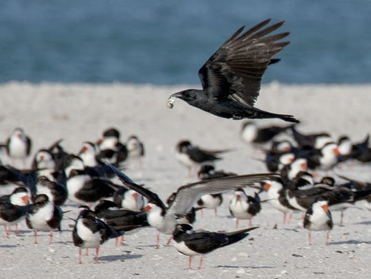 Crows carry away an egg from a colony of nesting least