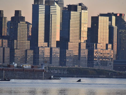 Whale in Hudson River
