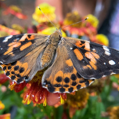 A Painted Lady butterfly sits on a flower in the butterfly