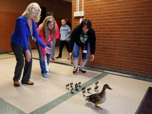 School yard ducks 1