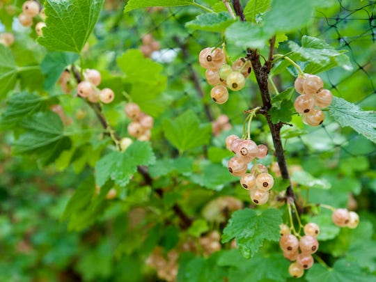 Pink champagne currants on the vine at The Farm Between in Jeffersonville.