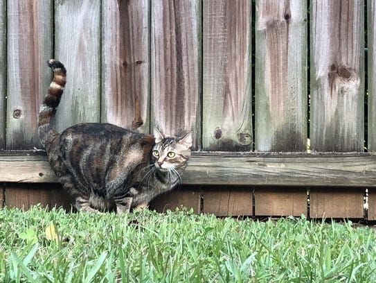 A feral cat turns at a sound on a property off Mahan