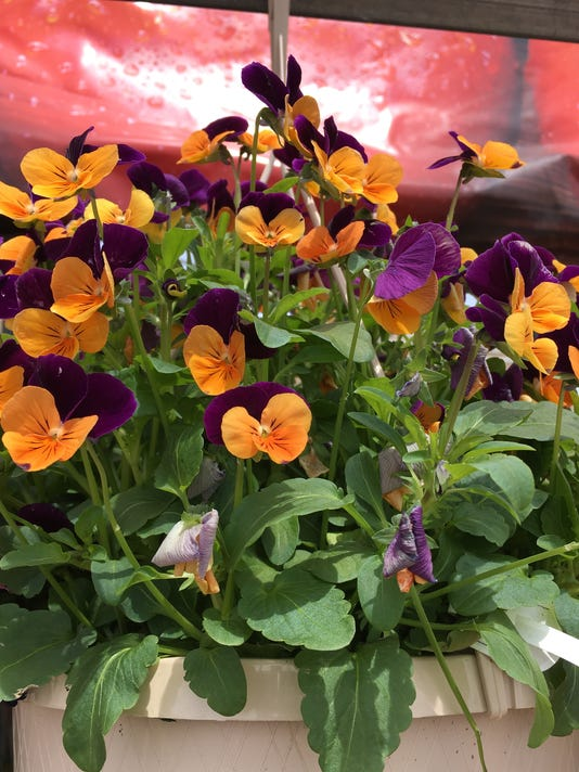 636314116413638129-Violas-look-impressive-in-a-hanging-basket.JPG