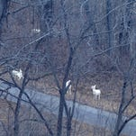 These white deer at former Seneca Army Depot were part of aerial survey conducted by Seneca White Deer, Inc., on Feb. 2, 2016. SWD is working to preserve the herd's future. The count was approximately 83, down from 185-200 counted eight years ago.
