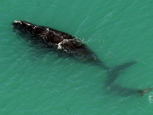 Right whale, calf spotted off Brevard