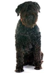 A bouvier des Flandres is a herding dog originally