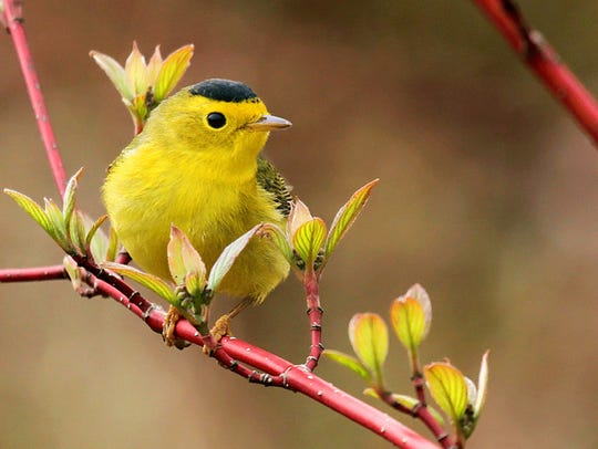 Wilson's warblers, like this one, are one of the smallest