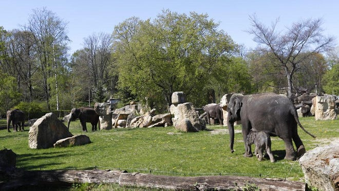 A new born baby Asian elephant walks with its herd in their enclosure at the Prague Zoo, Czech Republic, last month. The zoo has been closed for public in affords to stem the spread of the coronavirus.