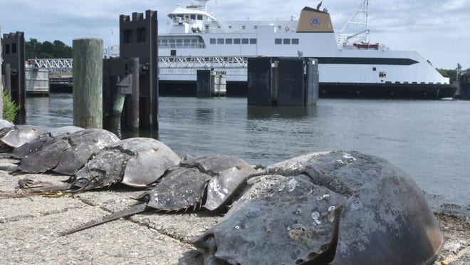 A queue of horseshoe crab shells monitor the arrival of the Steamship Authority Ferry Woods Hole arriving in Hyannis from Nantucket at midday on a low tide.